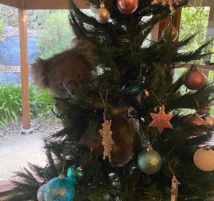 Don't Be A Koala Stuck Up The Christmas Tree