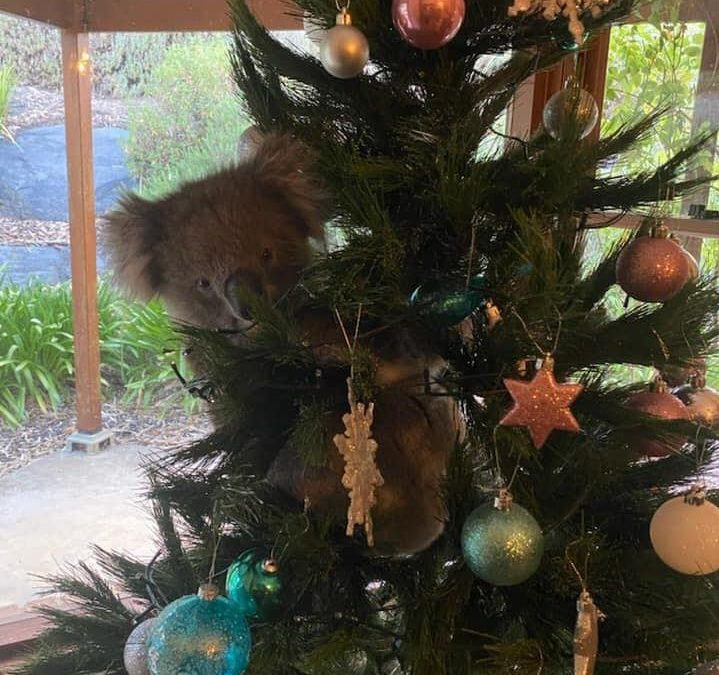 Don't Be A Koala Stuck Up The Christmas Tree